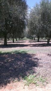 olive grove at Pukara Estate, Denman