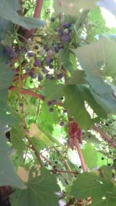 grape vine under our pergola. DIY wine!